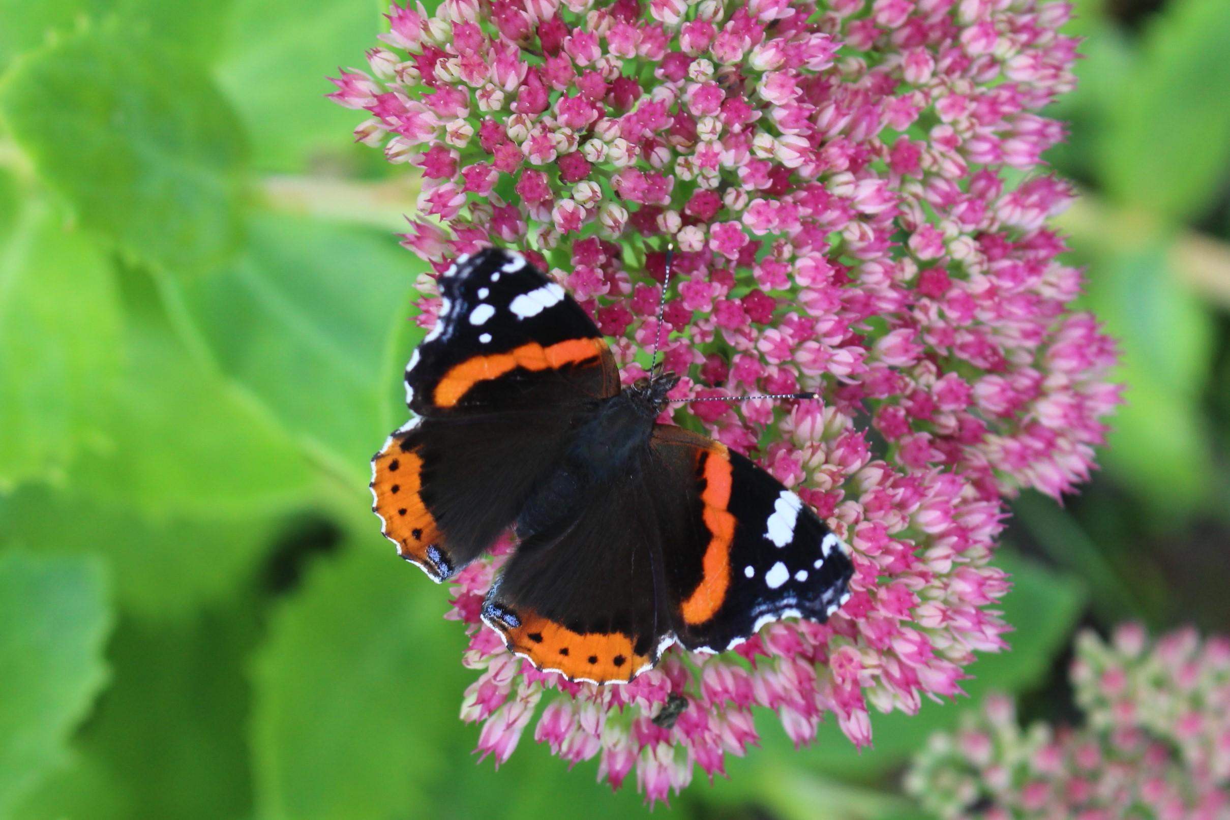 sommerfugle-2015 (3)