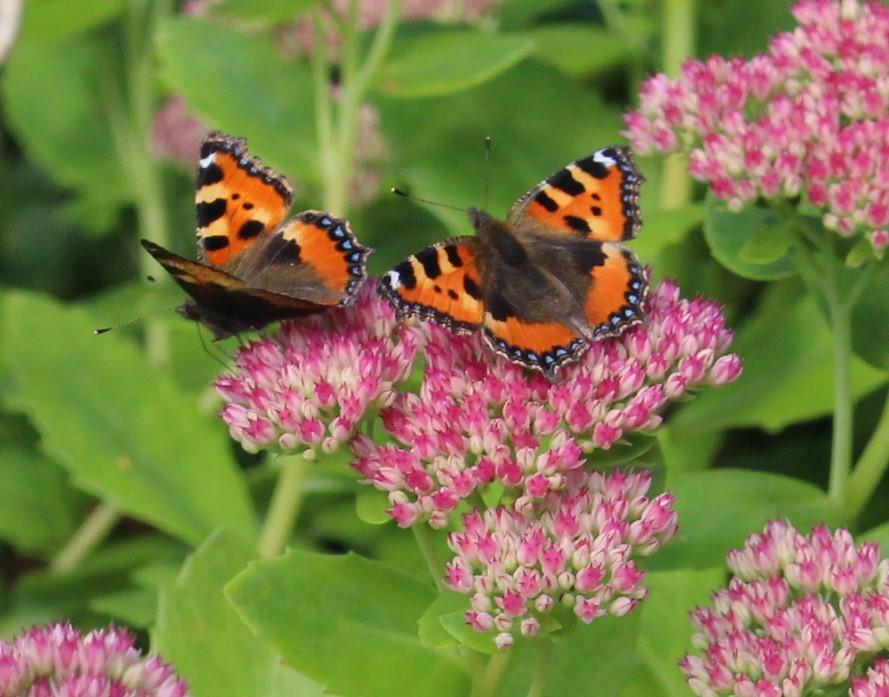 sommerfugle-2015 (4)