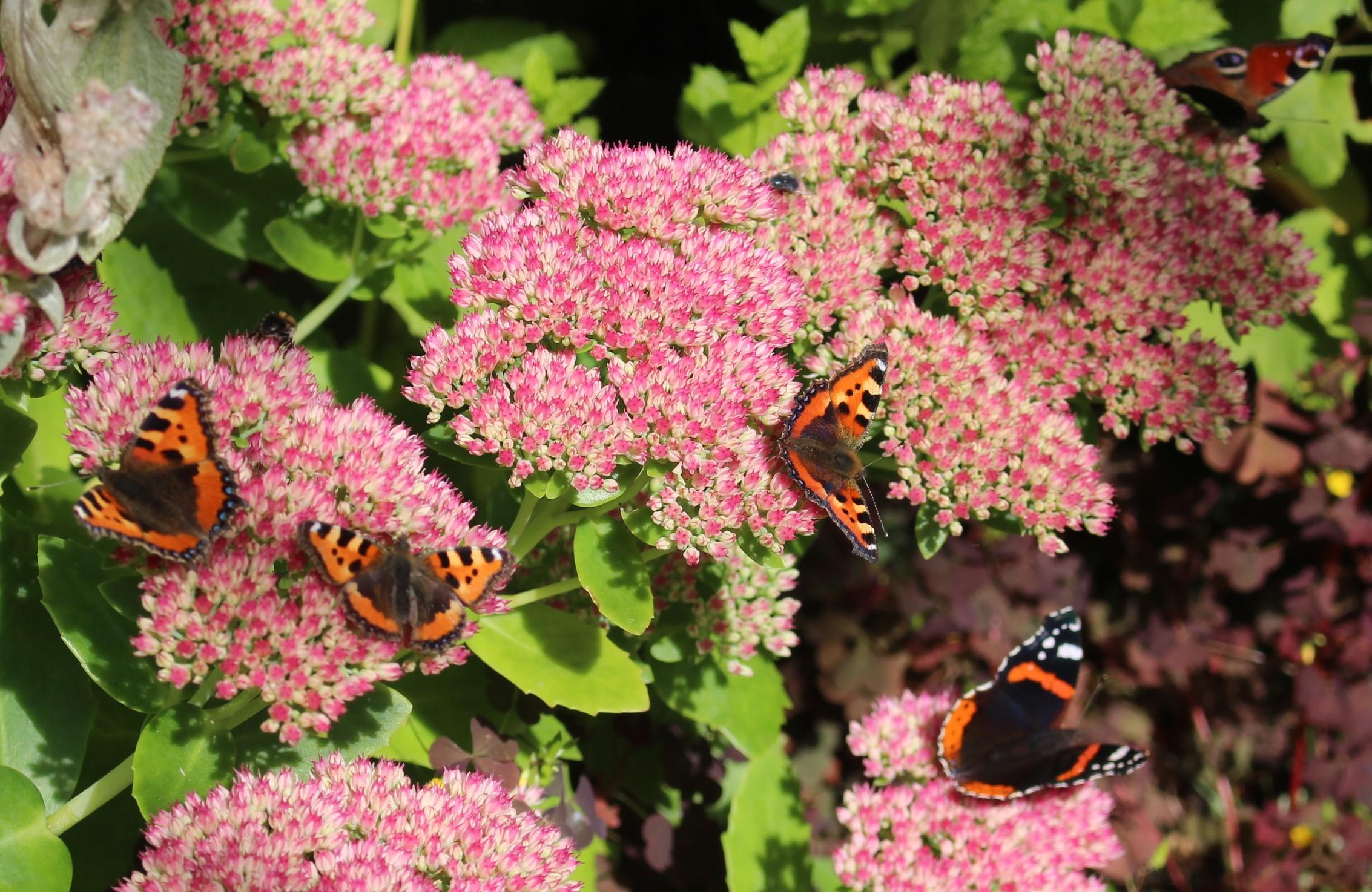 sommerfugle-2015 (5)